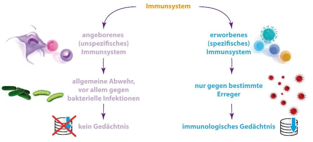Grafik angeborenes und erworbenes Immunsystem